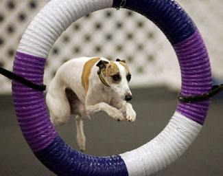 dog showing agility