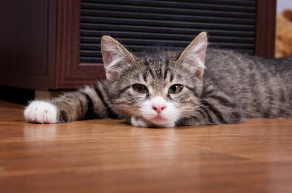 cat lying on wooden floor