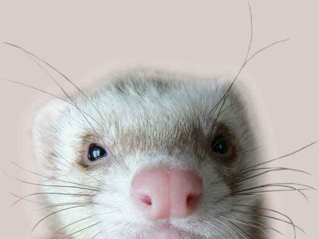 ferret head shot