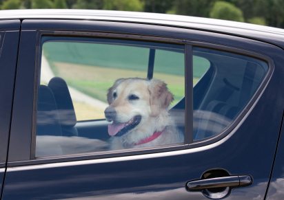 golden-retriever-in-car