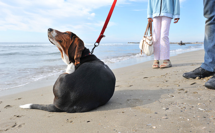 scratching beagle on the beach