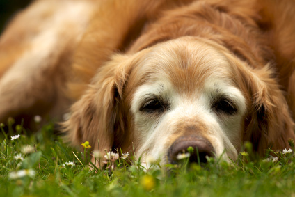 senior-dog-lying-on-grass