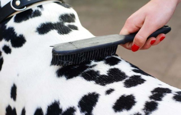 dog dalmatian getting groom
