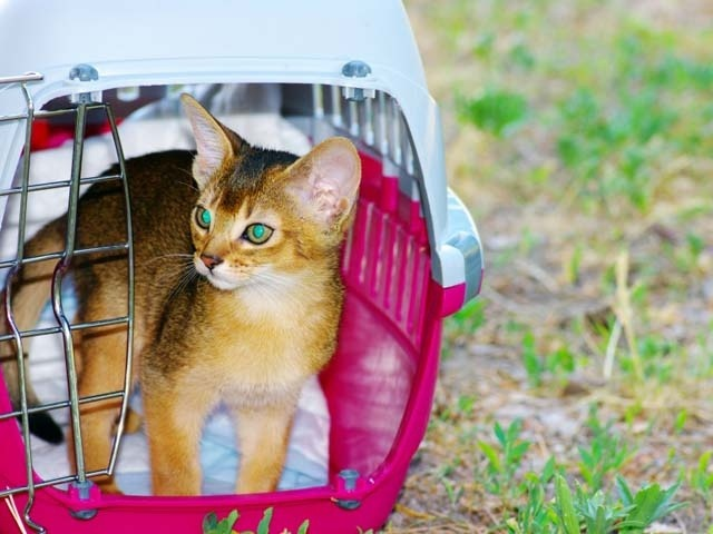 Abyssinian Breed Profile And Information Adelaidevet