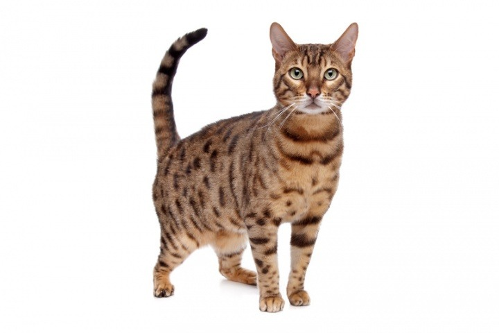 an analysis of the topic of the cat as a domestic animals Cats (domestic) how can i show my friend the dangers of declawing she's a huge animal lover, but i don't think she knows how bad declawing is, and she's thinking of getting a pet cat in the future.