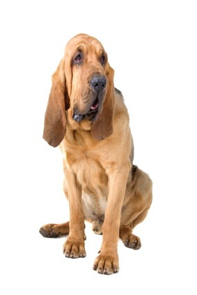 Bloodhound, dog, canine, puppy, breed, noble, hunter, scent, tracking