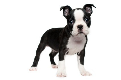 Boston Terrier A Smooth Coated Short Headed Compactly