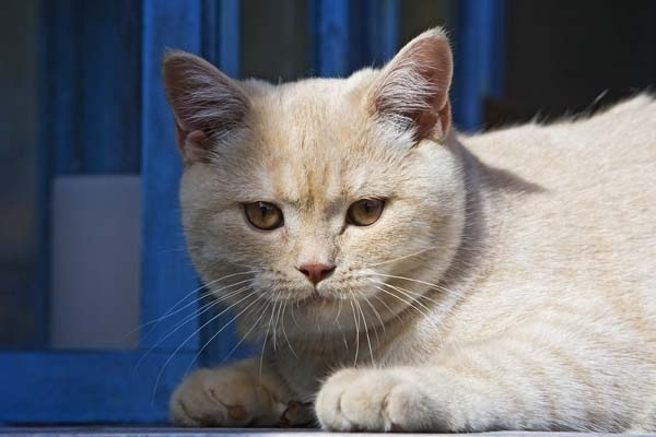 British Shorthair Cat Feline Breed Profile And