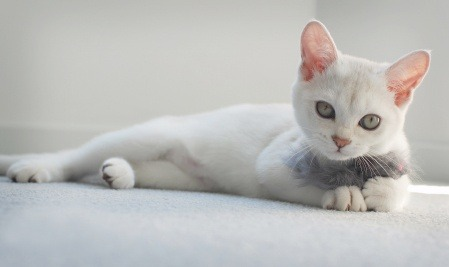 Burmilla feline kitten cat breed