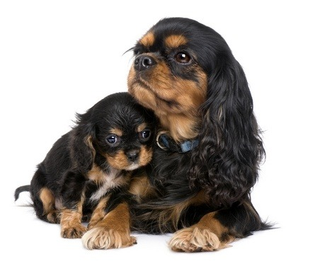 Pregnancy For Dogs Canine Gestation And Giving Birth To A Litter Of