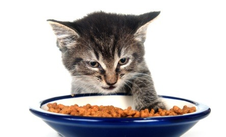 Cat stops eating, could be fussy eater, changes, dental problems or illness