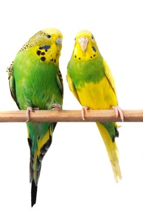Budgerigars - budgies
