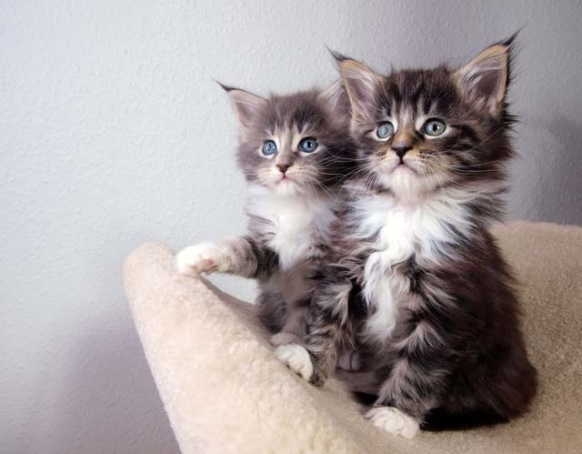 cat breed maine coon appearance temperament grooming health adelaidevet. Black Bedroom Furniture Sets. Home Design Ideas