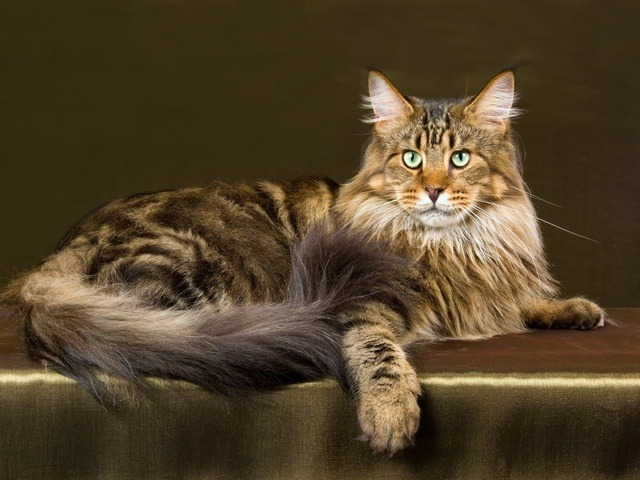 A Bengal Cats Personality Cat breed Maine Coon, ...