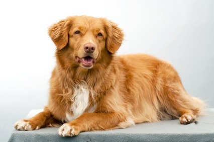 Nova Scotia Duck Tolling Retriever canine dog breed