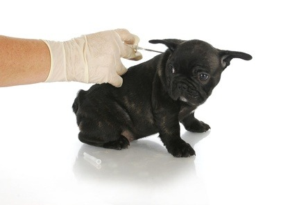 First vaccination for young puppies