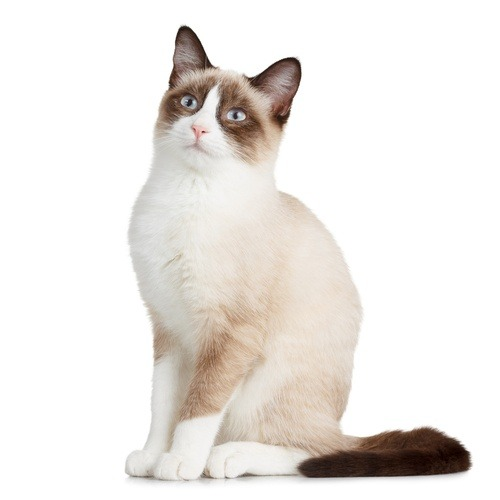snowshoe, cat, feline, breed, white paws, white V muzzle, blue eyes, kitten, Siamese cross, American Shorthair cross