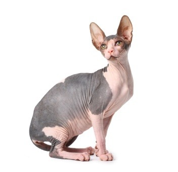 Sphynx - a unique hairless breed perfect for people allergic to fur