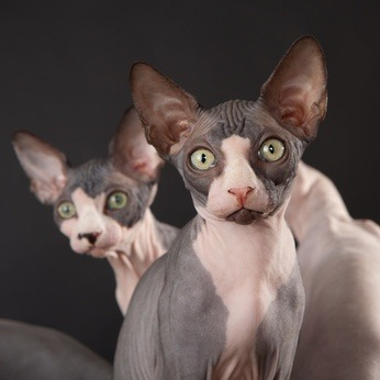 Sphynx - a unique hairless breed that is extremely affectionate