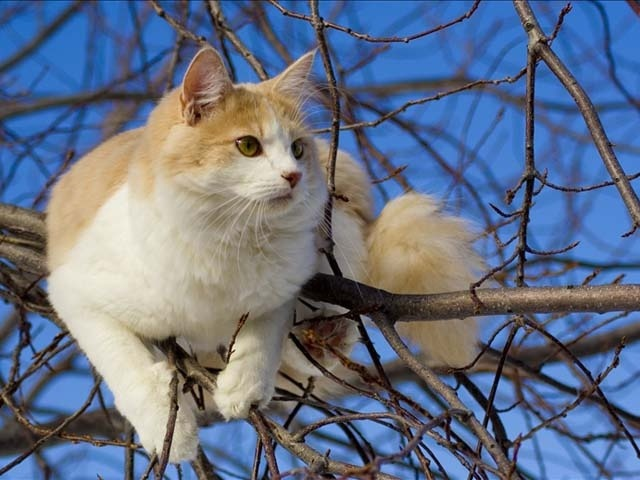Turkish Van the swimming cat breed