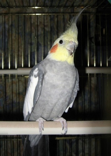 What Should I Feed My Cockatiel?