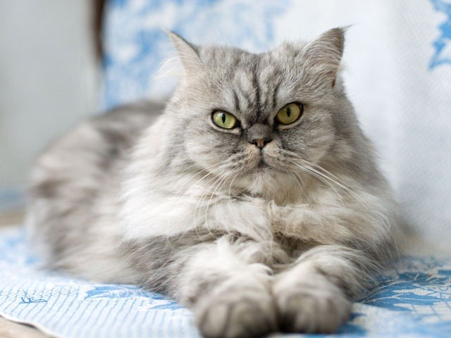 Cat Breed Profile Persian Appearance Temperament