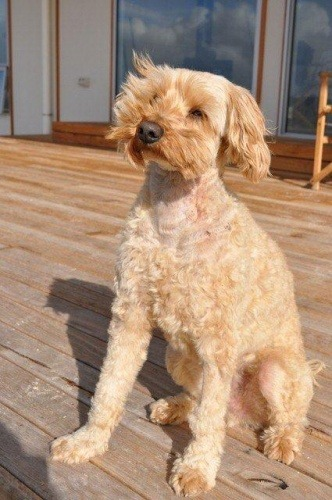 5 Year Old Teddy The Poodle X Shih Tzu Survives Dog Attack