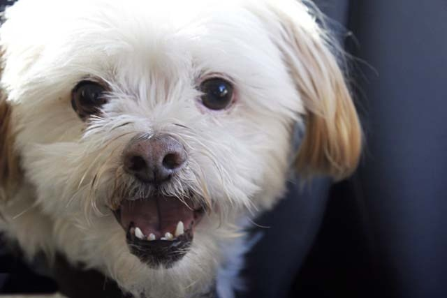 Twelve Year Old Monty The Maltese X Shi Tzu Gets His