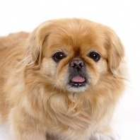 breed pekingese