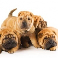 breed sharpei