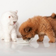 kitten and puppy eating