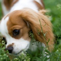cavalier eating grass