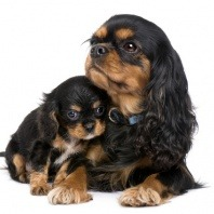 cavalier dog and puppy