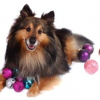 dog collie with decorations
