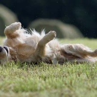 dog rolling on grass