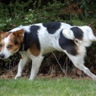dog terrier urinating in bush