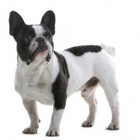 french bulldog stance