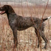 german shorthaired ponter sticks