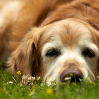golden retriever grass