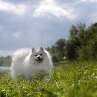 Japanese Spitz dog breed profile