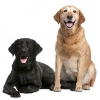 labradors black and brown