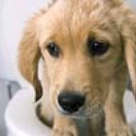 puppy retriever