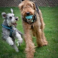 schnauzer-and-airedale-terrier