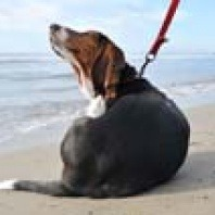 scratching-beagle-on the-beach