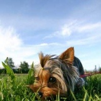 small-terrier-dog-grass
