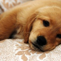 tired puppy on bed