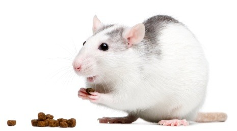 how to clean a pet mouse